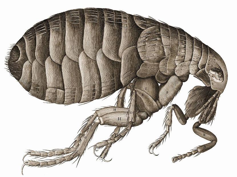pulgas yc iencia, curiosidades y forma de vida