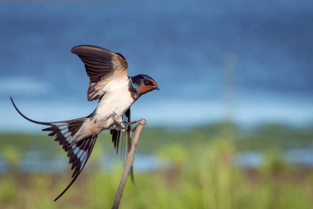 Notas y curiosidades sobre la golondrina común Hirundo rustica