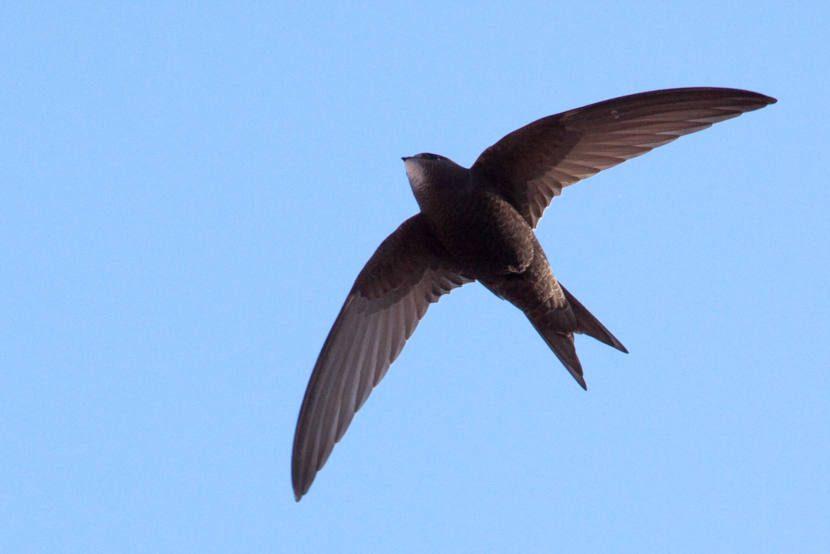 Imagen de un vencejo común apus apus volando en el cielo