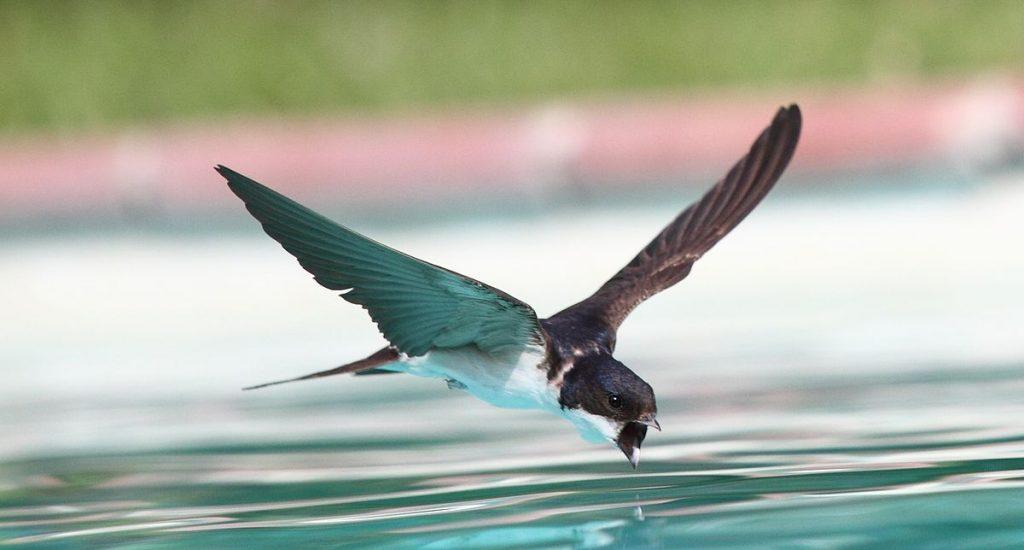 Cómo diferenciar vencejos, golondrinas y aviones