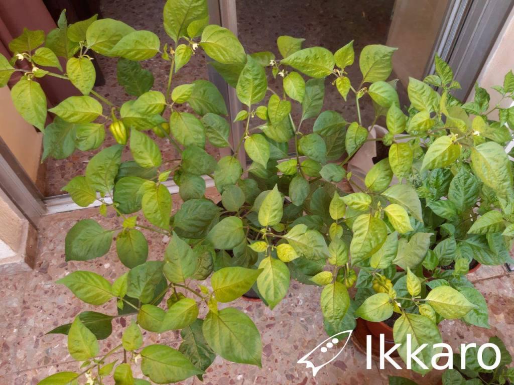 planta de habanero con enfermedad, parece clorosis férrica
