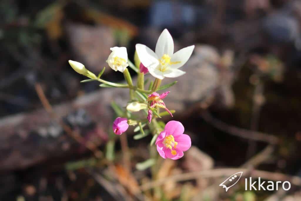 planta con mitad de flores de centaura blanca y la otra mitad rosaqs