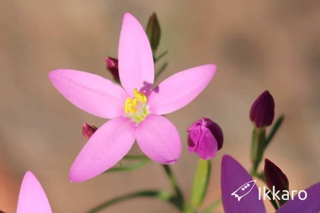 detalle de la flor de 5 pétalos de la centaura menor