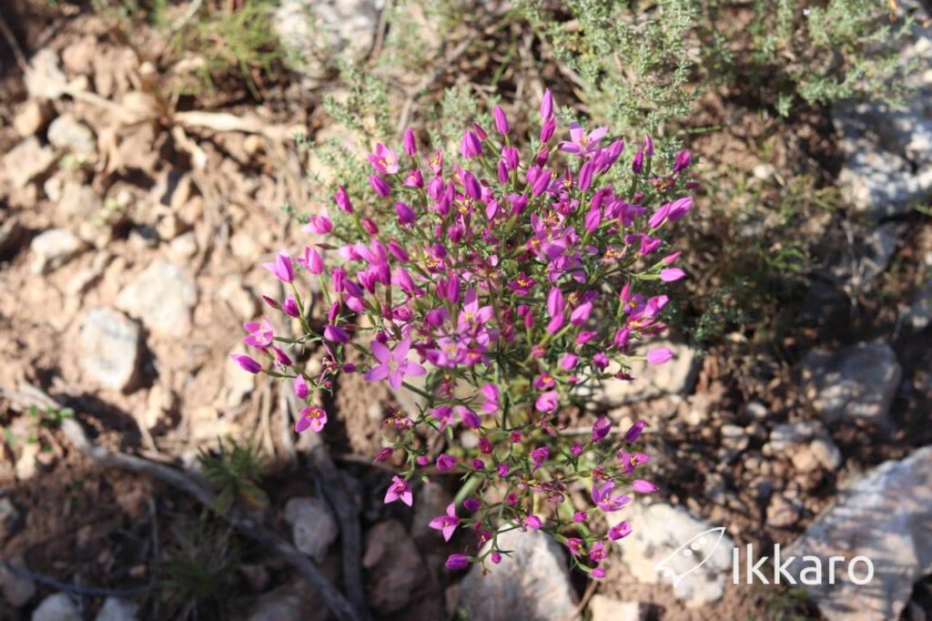 ramillete de Centaurium erythraea o quadrifolium
